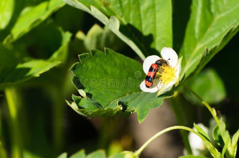 Малая черепашка сидит на цветке клубники стоковая фотография