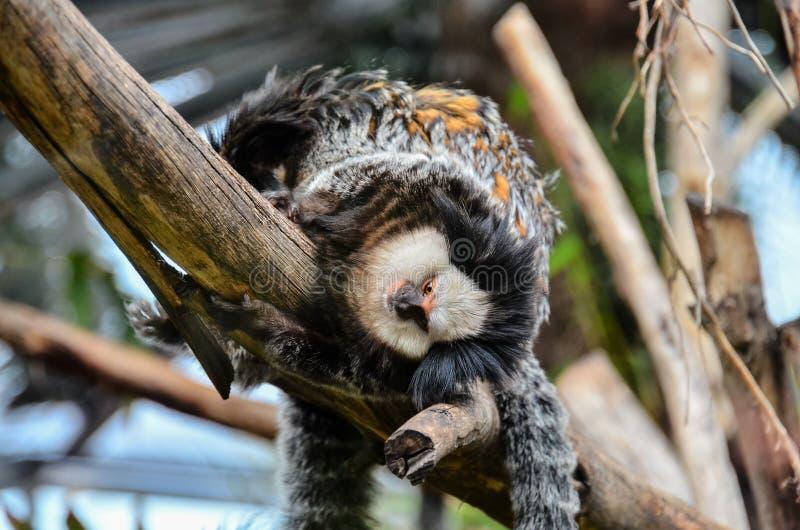 Малая черно-белая обезьяна стоковые фото