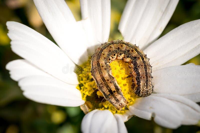 Маленькая гусеница на маргаритке стоковая фотография