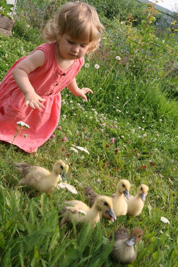 Маленькая девочка играя с утками младенца стоковое фото rf