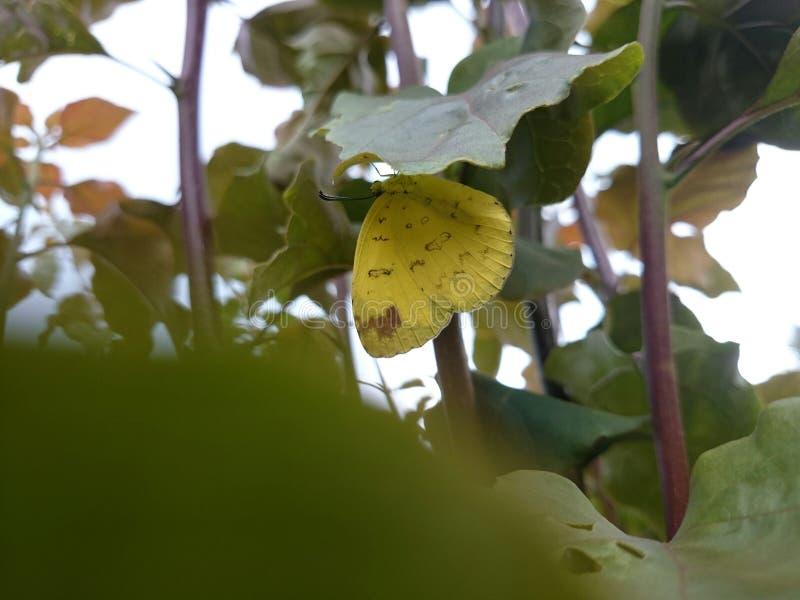Маленькая желтая бабочка стоковые изображения rf