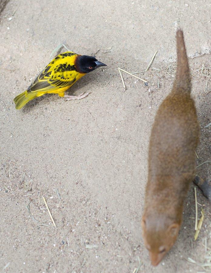 Маленькая желтая птица, и фретка стоковая фотография rf