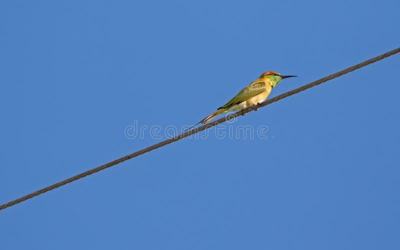 Маленькая зеленая птица Пчел-едока в желтый садиться на насест на стальном кабеле, t стоковые фото