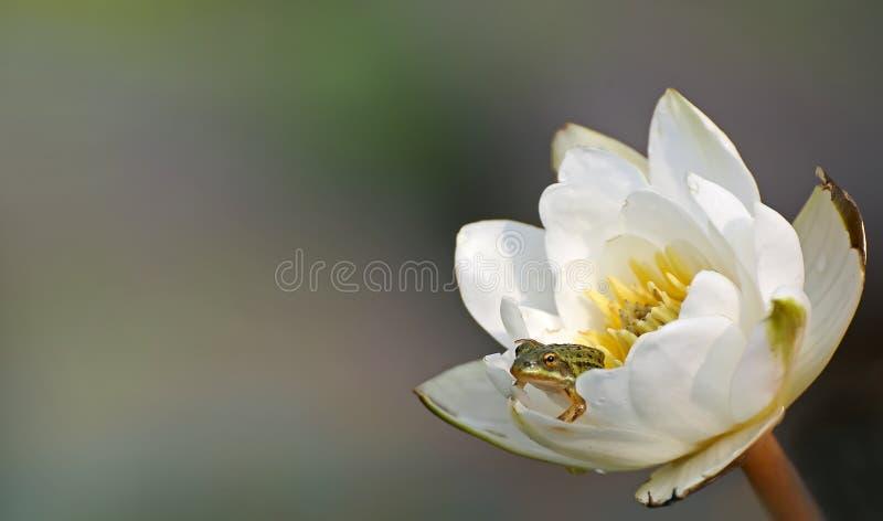 Маленькая зеленая лягушка сидя в лилиях воды лилии белой воды цветка стоковое изображение rf