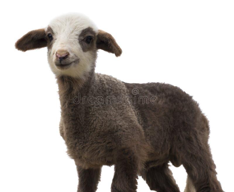 Маленькая изолированная овечка стоковые фотографии rf