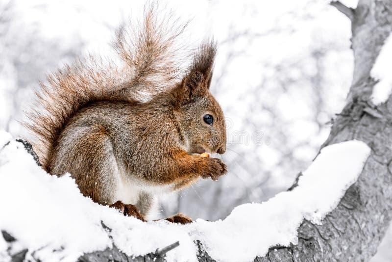 Download Маленькая красная белка сидя на гайке снежного ствола дерева треская Стоковое Фото - изображение насчитывающей голодно, гайка: 81814660