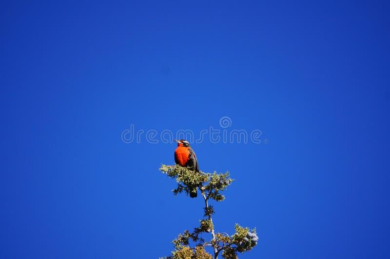 Маленькая красная птица стоковая фотография
