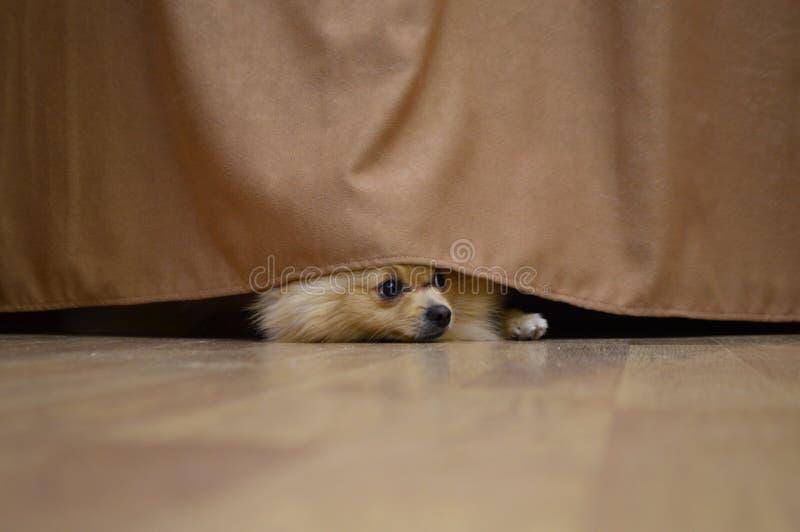 Маленькая красная собака прячет за занавесом стоковые изображения rf
