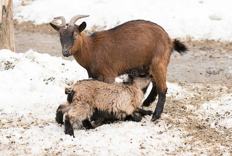 Маленькая овечка всасывая молоко от козы стоковое изображение