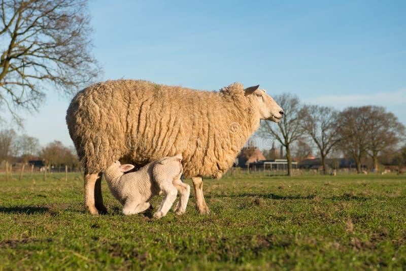 Маленькая овечка выпивающ со своими овцами мамы на зеленом поле голубое небо на солнечный день стоковые изображения rf