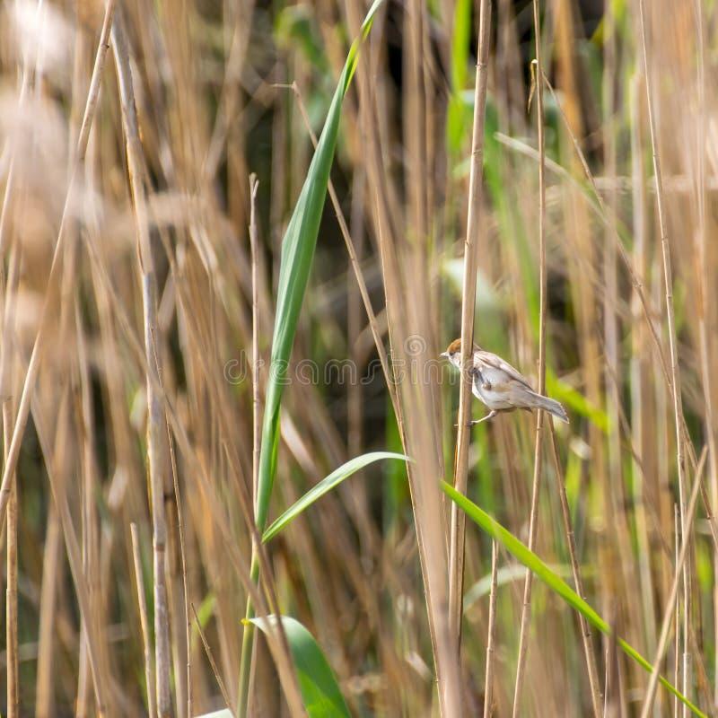 Маленькая птица между сухими cortaderias стоковое изображение rf