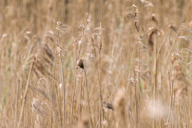 Маленькая птица между сухими cortaderias стоковое фото rf