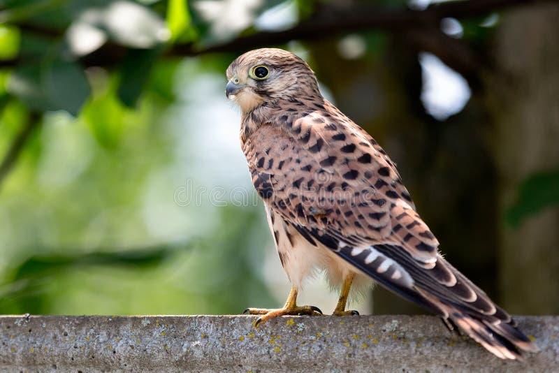 Маленькая птица сокола стоковые фотографии rf