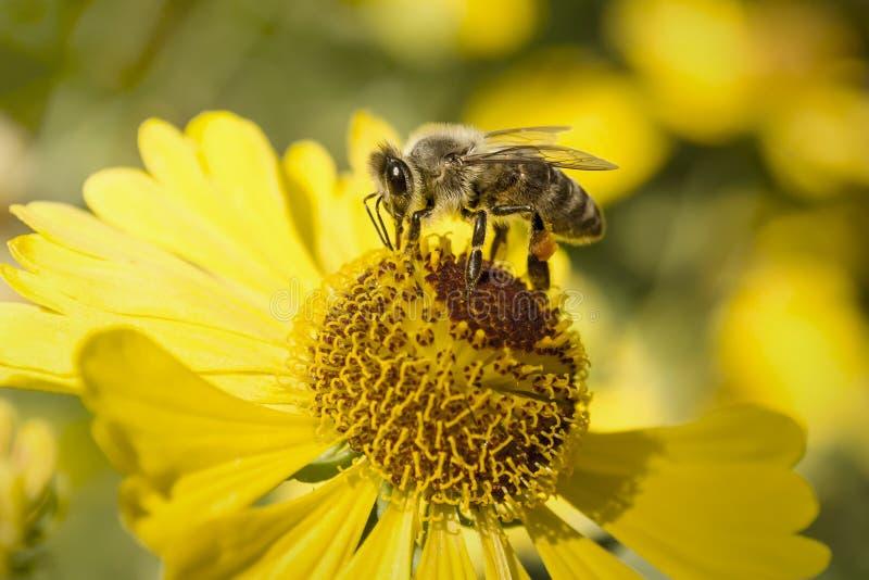 Маленькая пчела стоковое фото