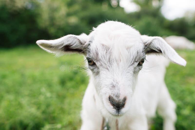 Маленькая сторона козы на зеленом крупном плане луга стоковая фотография