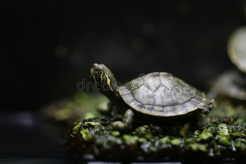 Маленькая черепаха - зеленая и желтая (pseudemys) стоковые фото