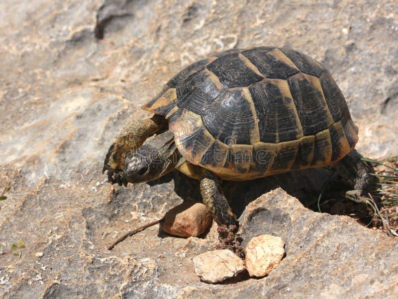 Маленькая черепаха идя на утес стоковые фотографии rf