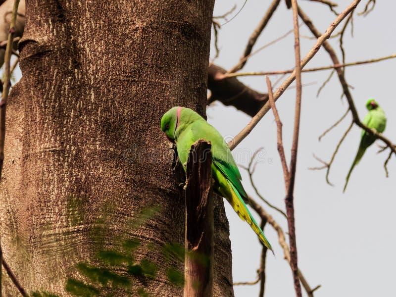 Маленькие зеленые попугаи на дереве стоковое изображение rf