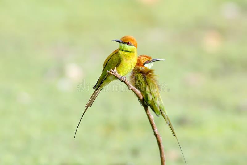 Маленькие зеленые orientalis Merops Пчел-едока стоковые изображения rf