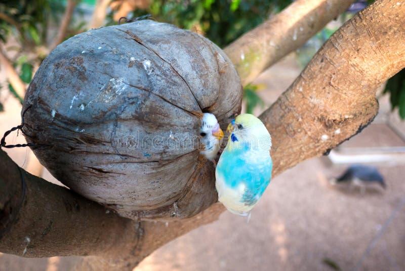 Маленькие попугаи в гнезде птицы кокоса стоковое фото rf