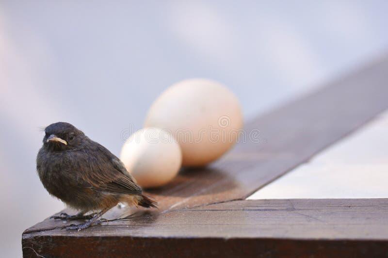 Маленькие птица и яичка стоковая фотография
