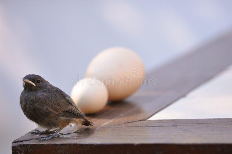 Маленькие птица и яичка стоковое фото rf