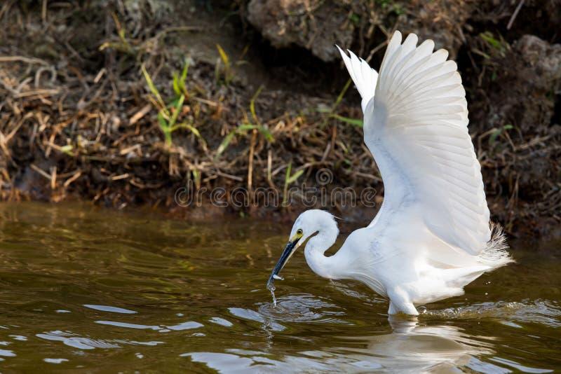 Маленькие рыбы egret (Egretta Garzetta) заразительные стоковое изображение rf
