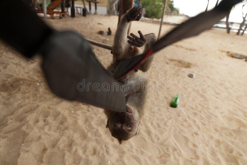 Маленькие самосхваты и стали обезьяны камера стоковое фото rf