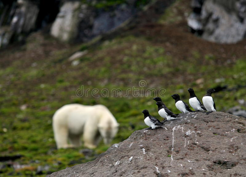 Маленькие чистиковые и полярный медведь стоковая фотография