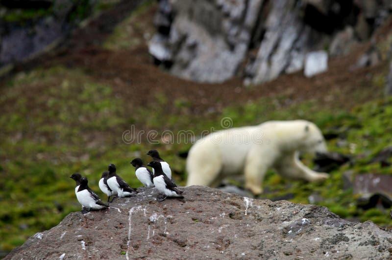 Маленькие чистиковые и полярный медведь стоковая фотография rf