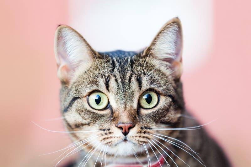 Маленький великобританский идти животного домашней кошки внешний стоковые изображения rf