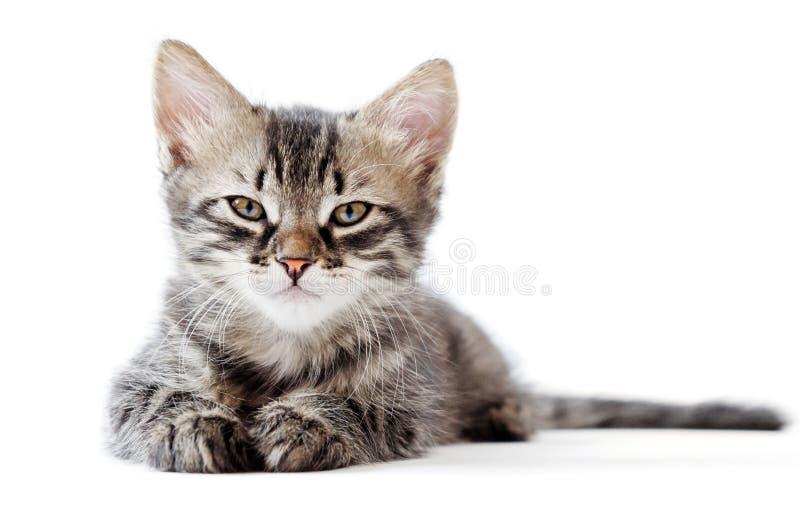 Маленький котенок на белой предпосылке стоковая фотография rf