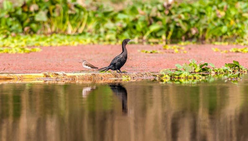 Маленький кулик зеленого цвета баклана, птица, сидя около воды стоковая фотография