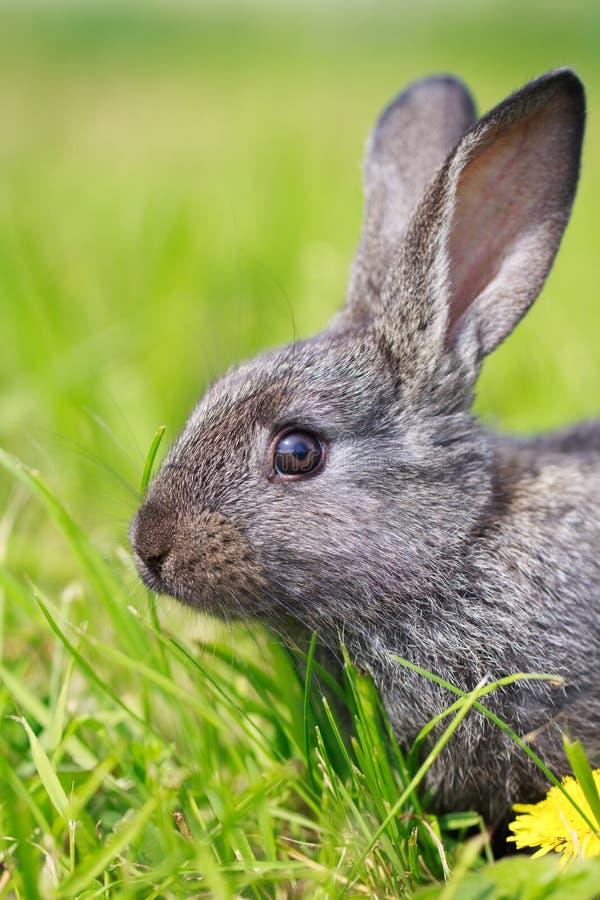 Маленький серый кролик Стоковое Изображение RF