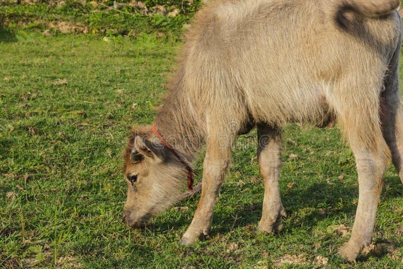 Маленький тайский буйвол есть траву в поле стоковое изображение