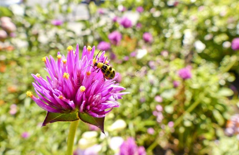 Маленький цветок пинка пчелы стоковое фото
