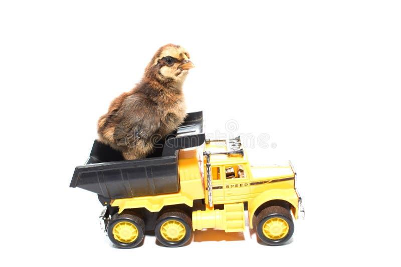 Маленький цыпленок на автомобиле игрушки изолированная тележка стоковое фото rf