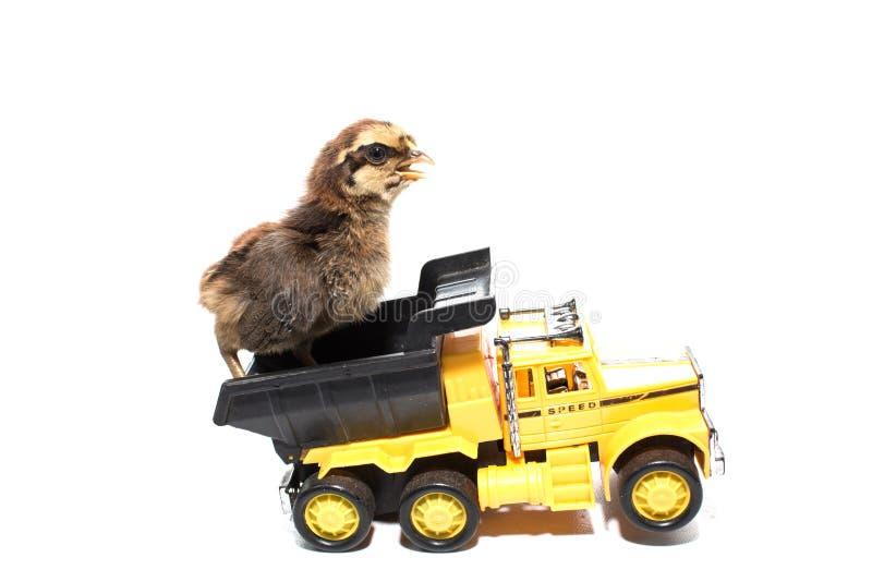 Маленький цыпленок на автомобиле игрушки изолированная тележка стоковые фотографии rf
