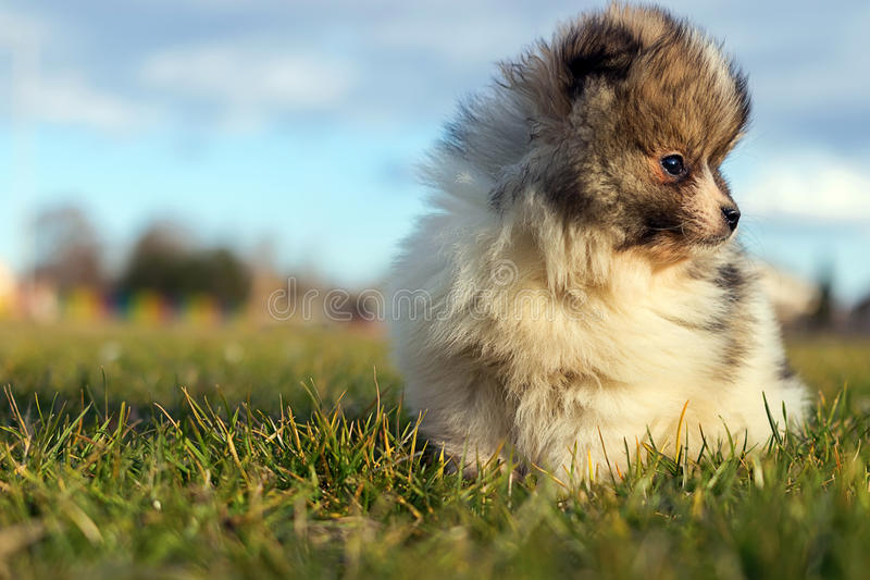 маленький щенок Малая шпиц-собака Pomeranian puppyPomeranian стоковые изображения