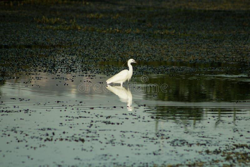 Маленький egret стоя в озере стоковое фото rf