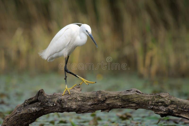 Маленький Egret стоковые изображения rf