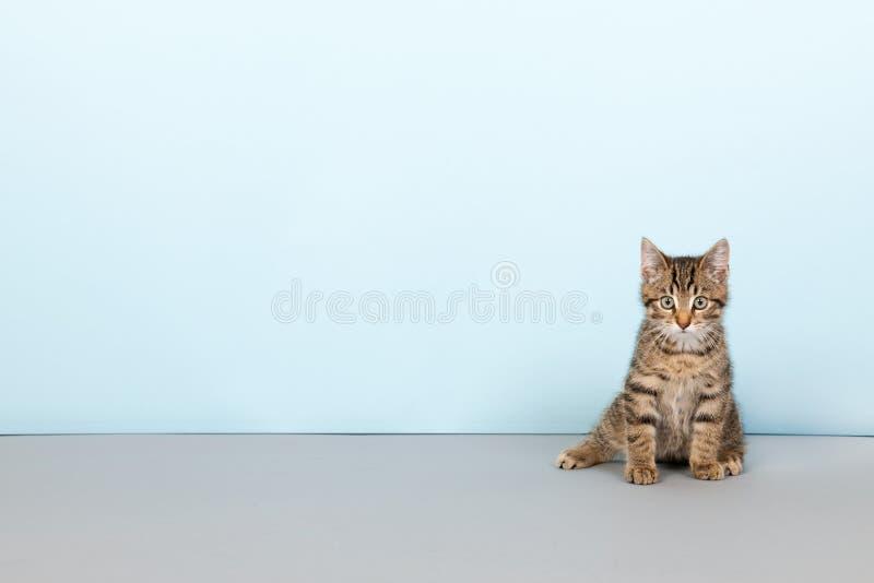 Маленький striped кот на голубой предпосылке стоковое фото rf