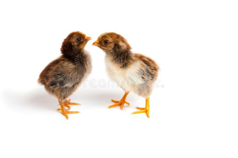 2 маленьких милых цыпленока перед белой предпосылкой стоковые изображения