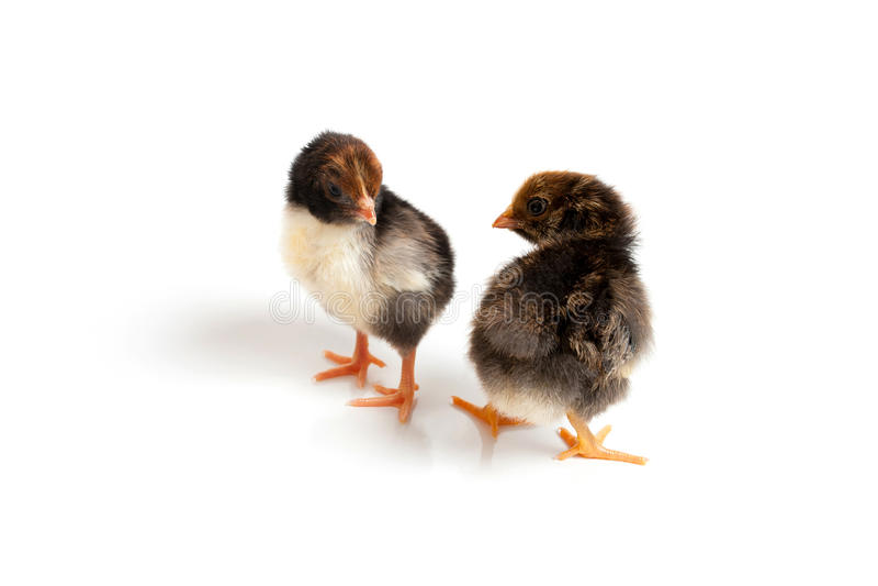 2 маленьких милых цыпленока перед белой предпосылкой стоковые изображения rf
