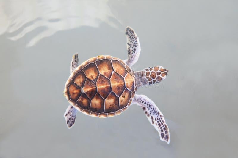 Маленькое заплывание морской черепахи в морской воде стоковое фото rf