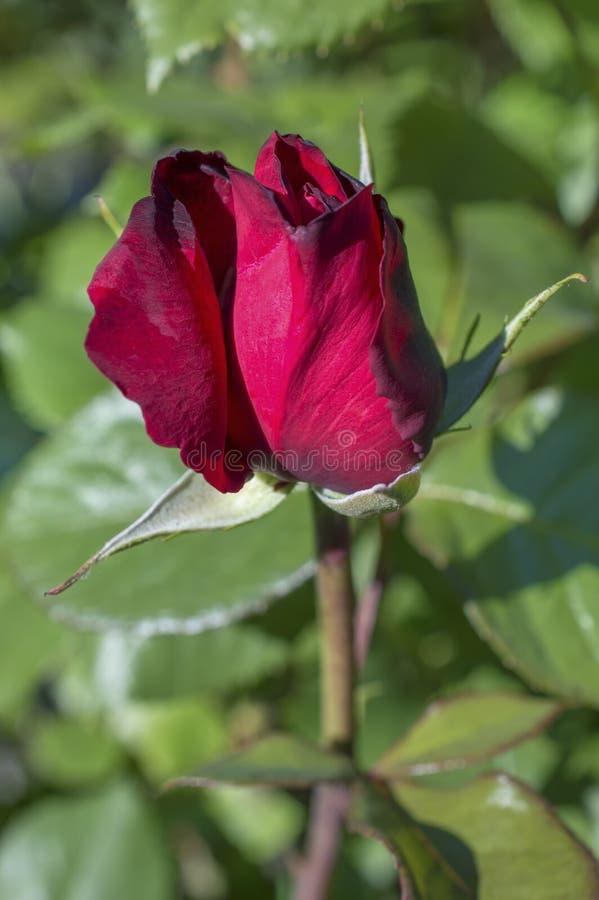 Download Малиновый Rosebud на зеленом цвете Стоковое Изображение - изображение насчитывающей макрос, флористическо: 40586727