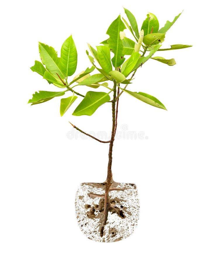 Малое дерево мангровы стоковая фотография