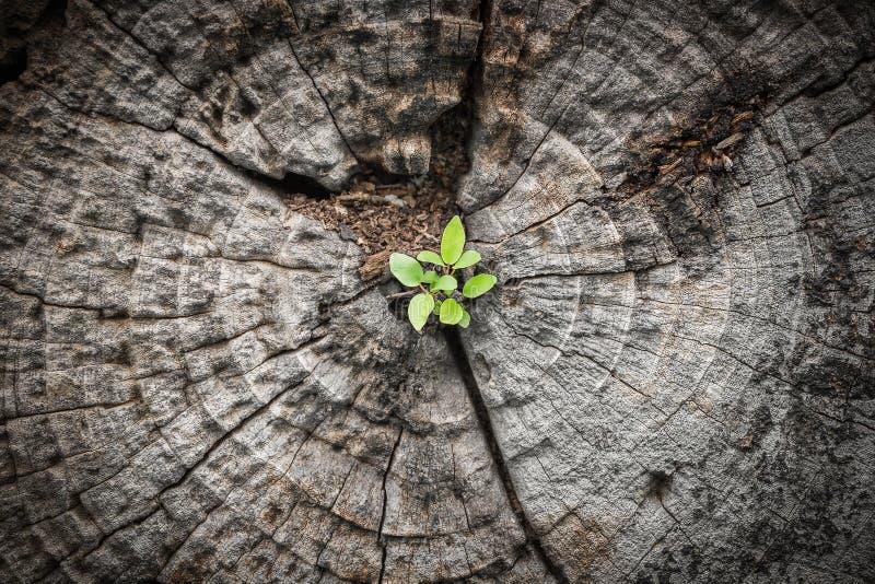 Малое дерево растет от умирая древесины стоковая фотография rf