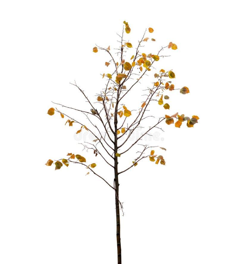 Малое дерево с листьями и птицей желтого цвета на ветви в seaso осени стоковые фото