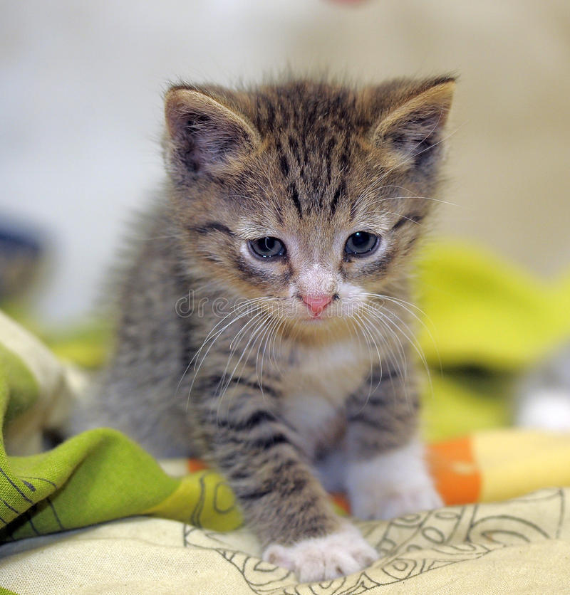 Download Малое Striped усаживание котенка Стоковое Изображение - изображение насчитывающей класть, крыто: 40588777